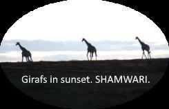 Girafs Sunset Shamwari