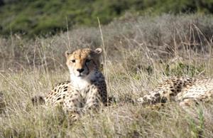 DSC02896rev gepard 1200_782.jpg