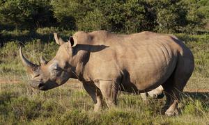 DSC03005rev rhino 1500_900.jpg