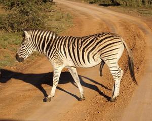 DSC03114 Zebra rev 1200_960.jpg